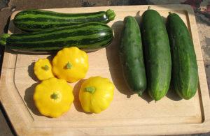 cuke_zuc_squash_harvest_060611