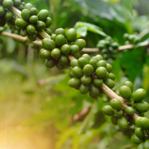green coffee fruit beans