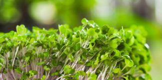microgreen green and purple sprouts growing out from soil